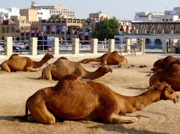camels at the souq