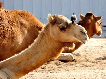 Camels basking in the afternoon sun at the Souq